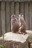 Two meerkats on guard — Stock Photo