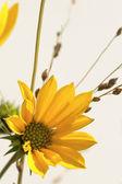 Närbild skott av en gul blomma — Stock fotografie
