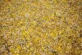 Fallen leaves of the yellow acacia — Stock Photo