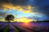 Stunning atmospheric sunset over vibrant lavender fields — 图库照片