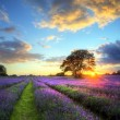 Stock Photo: Stunning atmospheric sunset over vibrant lavender fields in Summ