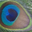 Colorful macro of peacock feather detail — Stock Photo