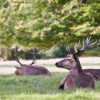 Red deer stags relaxing in last of Summer evening sun -  
