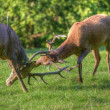 Red deer stags antler fighting to determine male dominance durin - Zdjcie stockowe