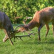 Red deer stags antler fighting to determine male dominance durin - Stock Photo