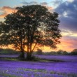 Stunning atmospheric sunset over vibrant lavender fields in Summ - Stock Photo