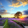 Creative concept image of  atmospheric sunset  lavender fields i - Stock Photo