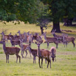 Herd of red deer during rut in Autumn Fall with stags and harem - 图库照片