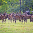 Herd of red deer during rut in Autumn Fall with stags and harem - Stock Photo