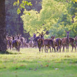 Herd of red deer during rut in Autumn Fall with stags and harem — Stock Photo #7026725