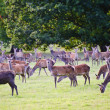 Herd of red deer during rut in Autumn Fall with stags and harem — Stock Photo #7026746