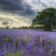 Stock Photo: Beautifully detailed and vibrant lavender field landscape at sun