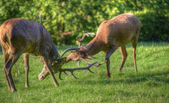 Red deer stags antler fighting to determine male dominance durin — Stock Photo