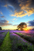 Deslumbrante pôr do sol atmosférico sobre campos de lavanda vibrante em summ — Foto Stock