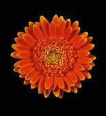 Gerbera daisy flower isolated on black — Stock Photo