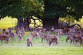 Herd of red deer during rut in Autumn Fall with stags and harem — Stock Photo