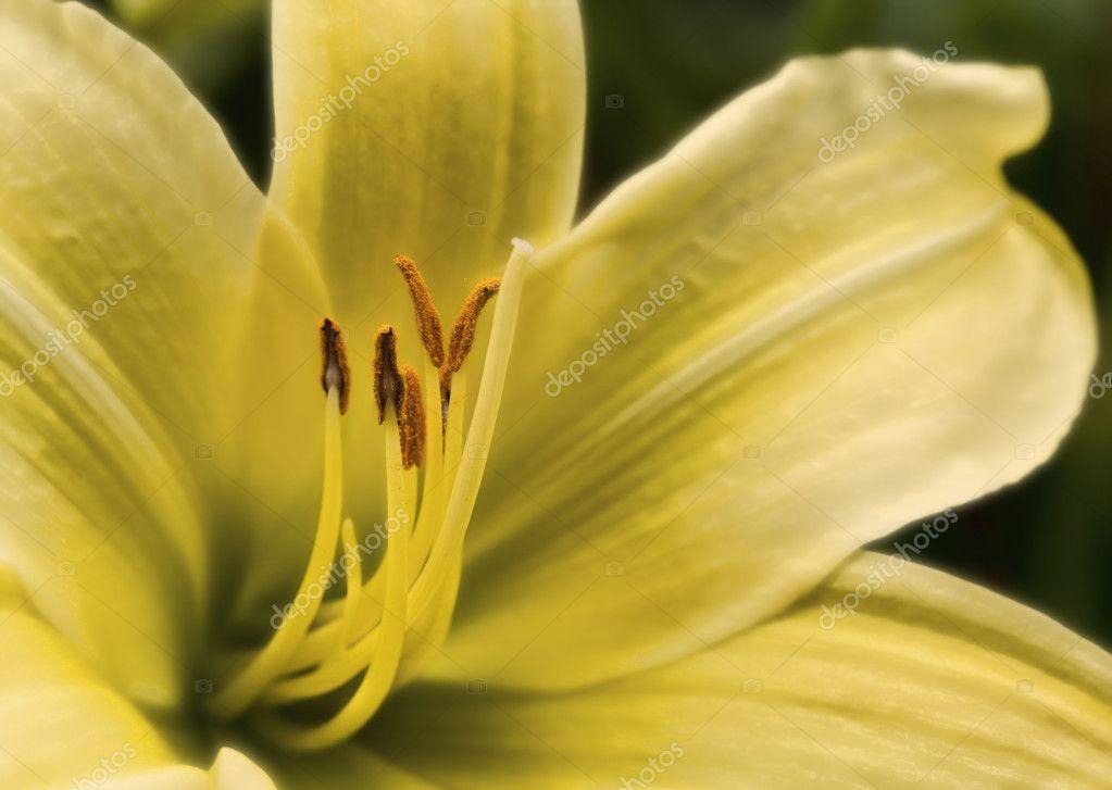 Fiore lilly di bel colore vivace giglio selvatico foto for Cabine di giglio selvatico