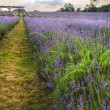 Beautifully detailed and vibrant lavender field landscape at sun — Stock Photo
