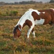 Close up of brown and white New Forest pony horse at sunrise in - Stock Photo