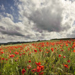 Poppy field in English countryside landscape — Stock Photo #7032771