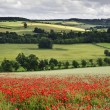 Poppy field in English countryside landscape — Stock Photo