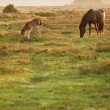 New Forest pony mare and foal bathed in sunrise light in landsca — Foto de Stock