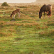 New Forest pony mare and foal bathed in sunrise light in landsca — Stock Photo