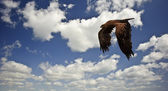 Tawny eagle flying against bright blue sky and white clouds — Stock Photo