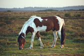 Close up of brown and white New Forest pony horse at sunrise in — Stock Photo