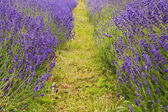 Low point of view thhrough lanes of lavender field — Stock Photo