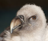 Lovely close up of griffon vulture — Stock Photo