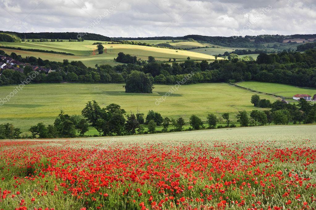 Campo di papaveri nel paesaggio della campagna inglese for Piani di campagna inglese