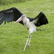 Maribou stork walking across grass — Stockfoto