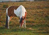 Cerrar de nuevo bosque pony caballo marrón y blanco al amanecer en — Foto de Stock