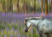 Backlit pony walking through blurred bluebell forest fantasy the — Stock Photo