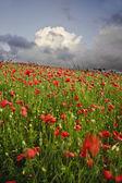 Vibrant poppy fields under moody dramatic sky — Stock Photo