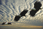 Composite shot of African fish eagle in flight — Stock Photo