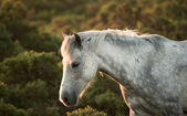 Beautiful close up of New Forest pony horse bathed in fresh daw — Stock Photo