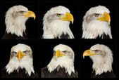 Full frontal portrait of American symbol bald eagle isolated on — Stock Photo