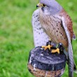 Male kestrel bird of prey raptor during falconry display — Stock Photo