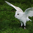 Barn owl bird of prey in falconry display — Stock Photo