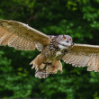 Stunning European eagle owl in flight — Stock Photo #7087801