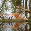 Beautiful tiger laying down on grassy bank reflection in water - Stock Photo