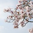 Beautiful fresh magnolia Spring blossom on vibrant blue sky — Stock Photo