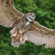 Stock Photo: Stunning European eagle owl in flight