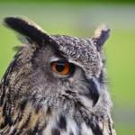Stunning European eagle owl in flight — Stock Photo