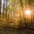 Stock Photo: Warm sunrise light breaking through forest trees and canopy