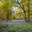 Bright fresh colorful Spring bluebell wood — Stock Photo