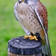 Male kestrel bird of prey raptor during falconry display — Stock Photo #7089854