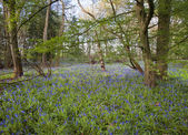 Bright fresh colorful Spring bluebell wood — Photo